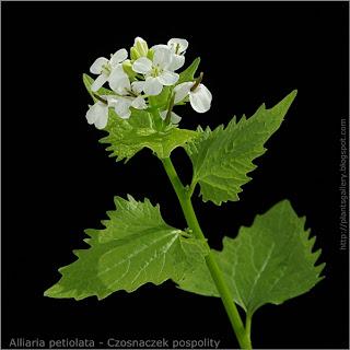 Alliaria petiolata - Czosnaczek pospolity