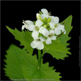 Alliaria petiolata flower - Czosnaczek pospolity kwiaty