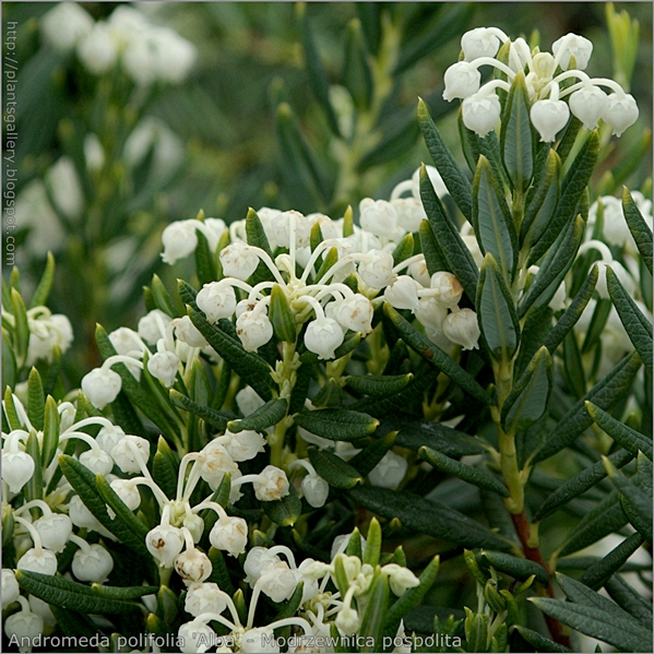 Andromeda polifolia 'Alba' flower - Modrzewnica pospolita kwiaty