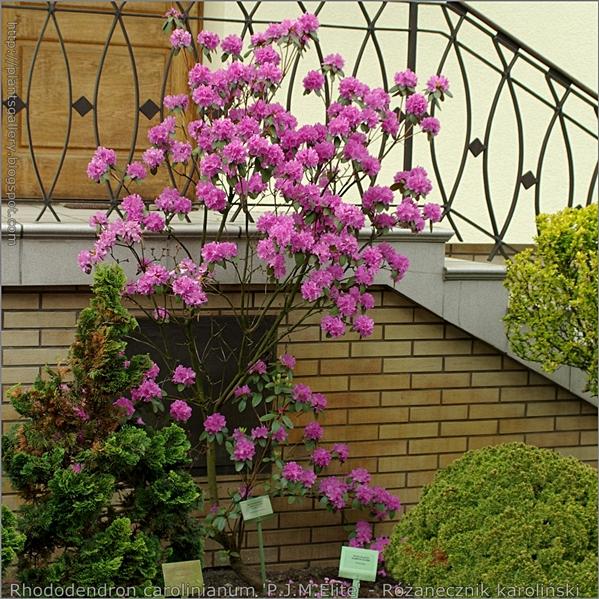 Rhododendron carolinianum 'P.J.M.Elite' - Różanecznik karoliński pokrój formowany