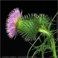Cirsium vulgare flower - Ostrożeń lancetowaty kwiat