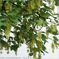 Acer pseudoplatanus flower - Klon jawor kwiaty