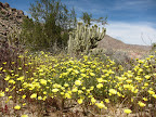 Desert Wildflowers and Pictographs in Southern Anza Borrego - Anza Borrego