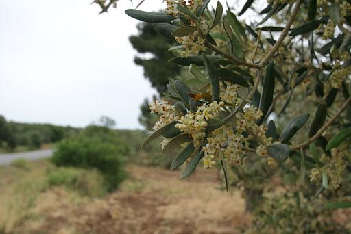 маслина цветёт