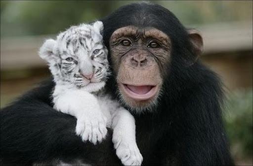 monyet memeluk harimau