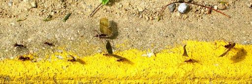 Hormigas trabajando en la Cota Mil (Altamira, Caracas, Venezuela)