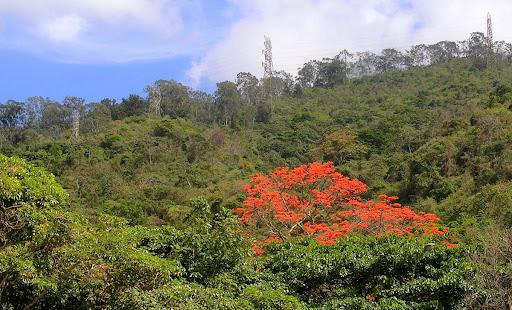 Bucare en flor en la falda del Avila Eritrina poeppigiana Cota Mil Altamira Caracas Venezuela