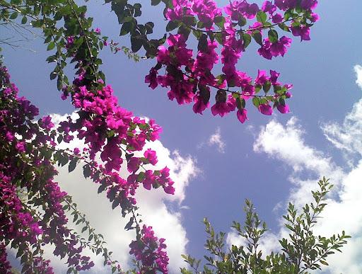 Trinitarias púrpura sobre cielo azul bougainvillea glabra la Lagunita el Hatillo Caracas Venezuela