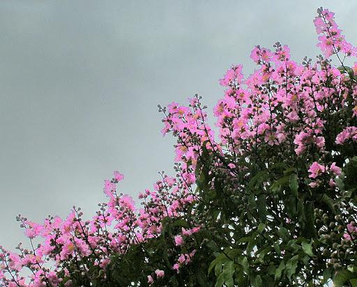 Flores de Apamate Trabebubia Rosea Caracas Distrito Capital Venezuela