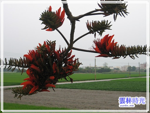 莿桐- 火紅花朵的刺桐花隨拍, 楊桃與蒜頭