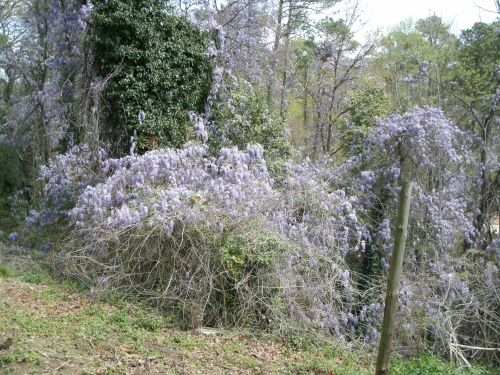 Chinese wisteria pwns the trees