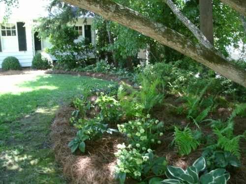 shade garden under Ginko tree