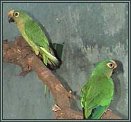 Peach-fronted Conures - Aratinga aurea. Photograph courtesy of Garry & Shirley Walsh, Westbrook, Queensland