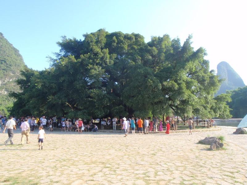 Árbol milenario chino