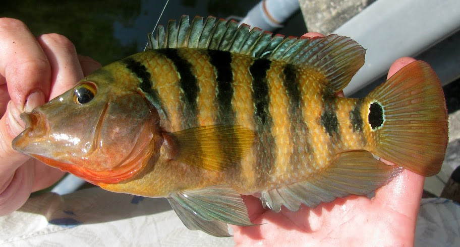 here is porkins our cowardly mayan cichlid much less intense