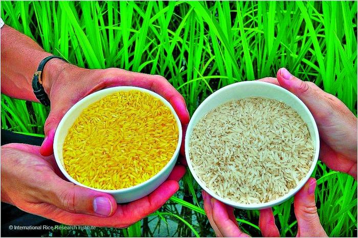 Biotecnologia agrícola - Comparação entre o arroz dourado (à esq.) e arroz branco (à dir.)