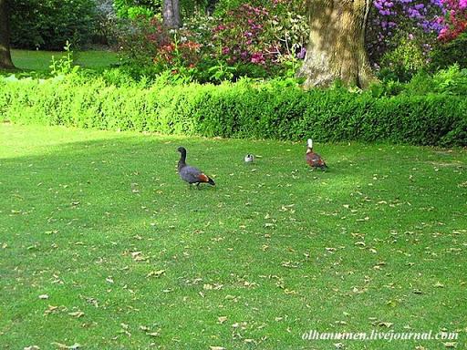 Птицы с разноцветной окраской свободно бегают и летают по территории парка