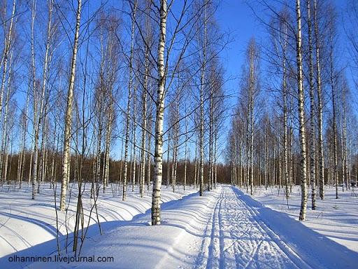 По тропинке в березовом лесу проложена лыжня