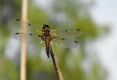 Libelula cu aripi transparente (in Delta Dunarii)