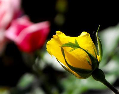 Femeia perfecta. Trandafiri galbeni, roz si tot parfumul dintre ei