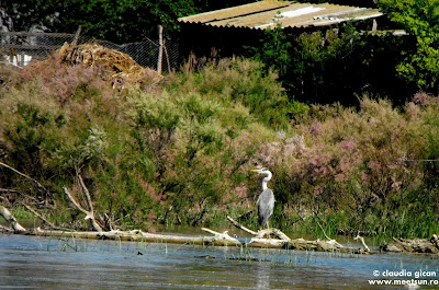 pasari in delta: cocostarc cenusiu