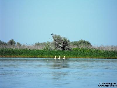 pasari in delta: lebede