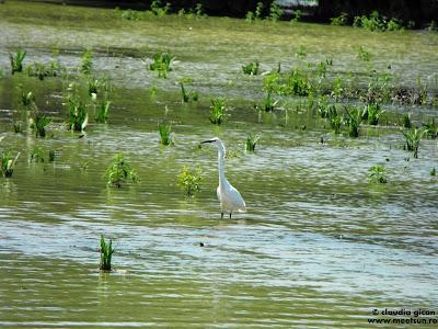 pasarile deltei: egreta alba