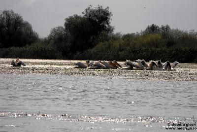 Delta Dunarii - pelicani