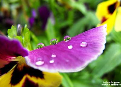 flori de gradina: panseluta.