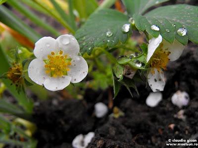 flori de capsun