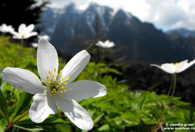 flori din Bucegi: flori albe de munte si primavara: Păștiță sau Floarea Pastelui (anemone nemorosa)