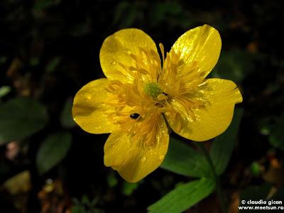 flori galbene de munte, flori de primavara: Piciorul cocosului de munte