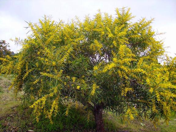 Blühende Akazie,La Palma,Kanaren