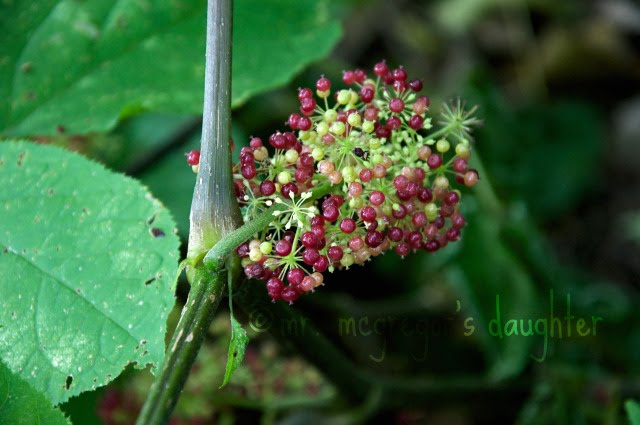 Wildflower Wordless Wednesday: Aralia Racemosa Berries