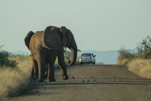 safári na África do Sul - Dois elefantes começando a atravessar a estrada na frente do nosso carro. Passarinhos no chão em volta e mais um carro a frente.