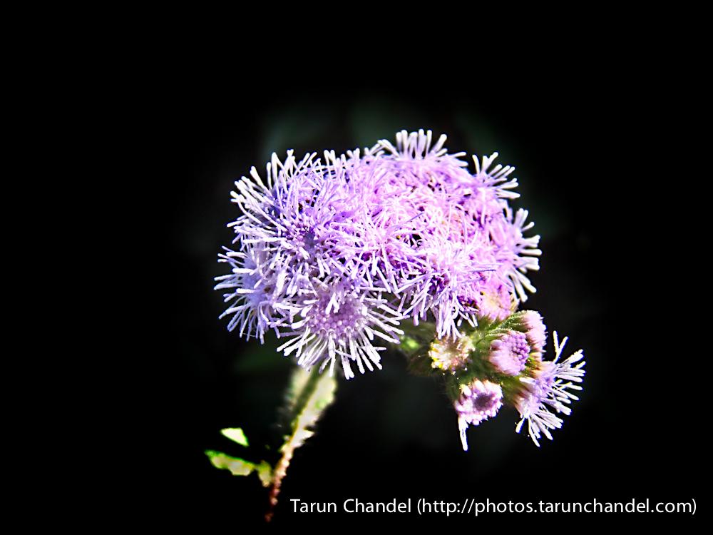 Lavander Flower Himachal, Tarun Chandel Photoblog