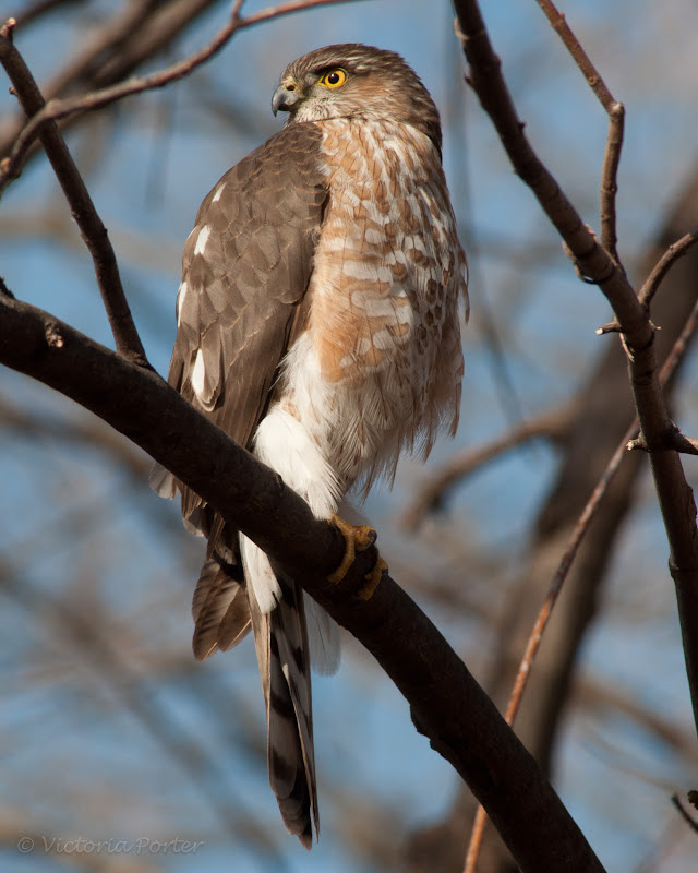 raptor - Sharp-shinned Hawk