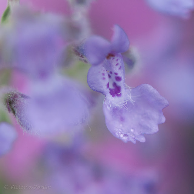 Blue Wonder Catmint with rain droplets