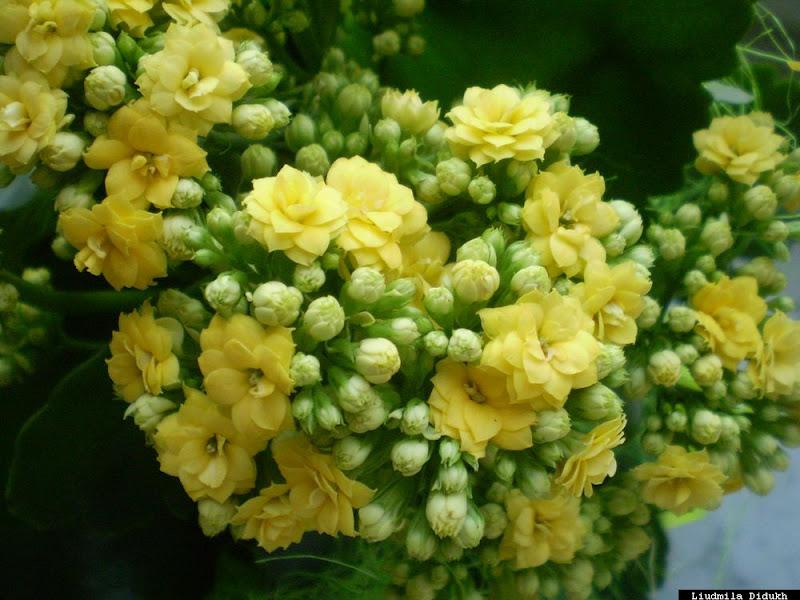 Квітучі низькорослі рослини