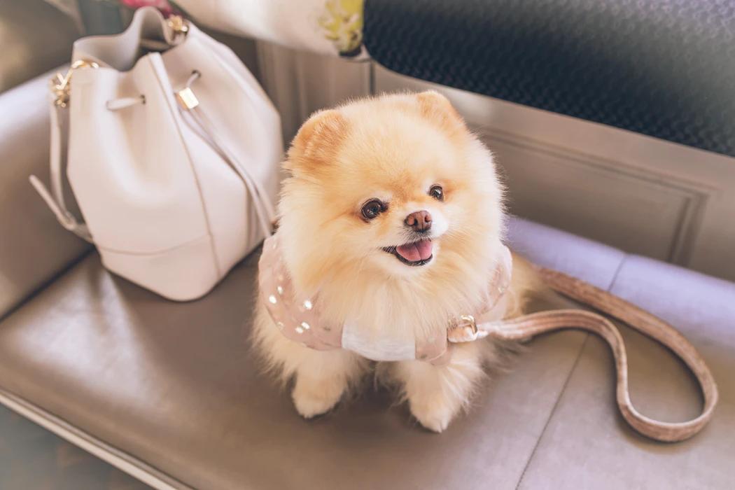 small dog breed, pomerian