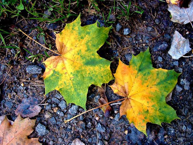 Hojas de otoño doradas