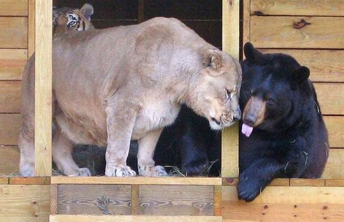 Tiger, lion and bear form unusual friendship