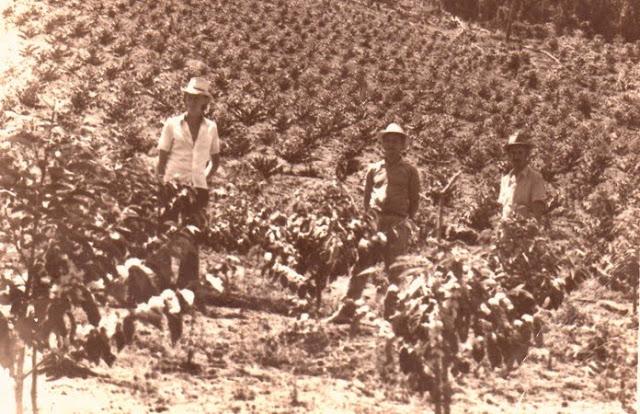 Plantação de Café. Autor anônimo.