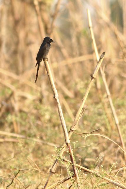 Black Drongo-juvenile