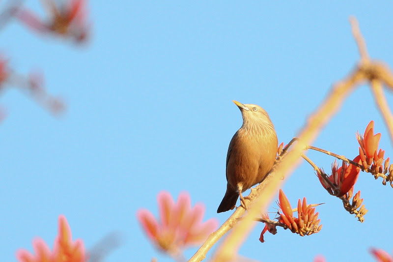 Grey headed Starling