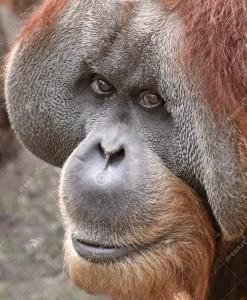 orangotango-velho-03-17929392-271x300