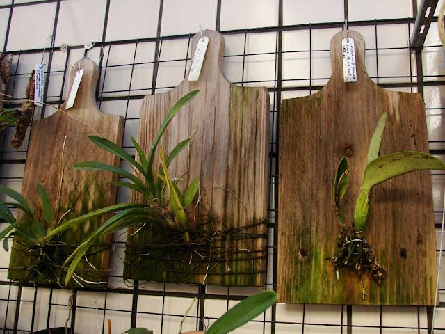 orchidee auf holz heranziehen samen anzucht vermehrung green24 hilfe pflege bilder. Black Bedroom Furniture Sets. Home Design Ideas
