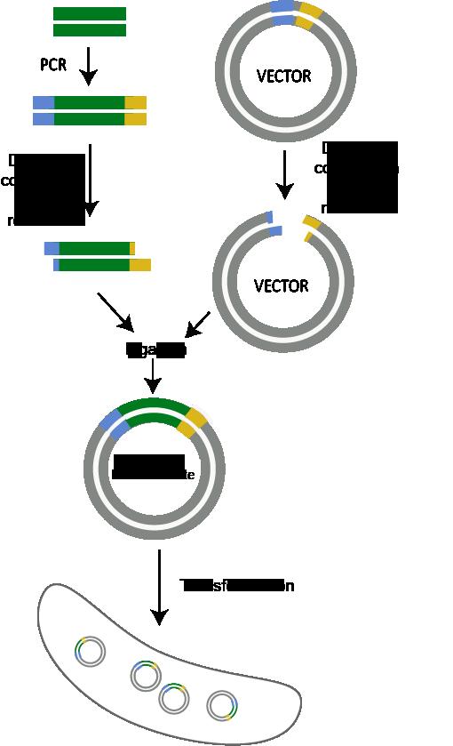 PCR, digestion con enzima de restriccion, ligacion, y transformacion