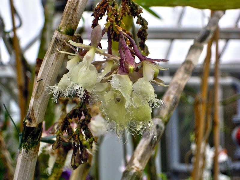 Visite de serres a Orchidées DSCN1027-HDR