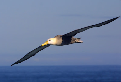 Majestic Waved Albatross (Diomedea irrorata) soars on cliff-side updrafts on the island of Espanola in the Galapagos group. Also called the Galapagos albatross, the waved albatross is the largest bird in the Galapagos.